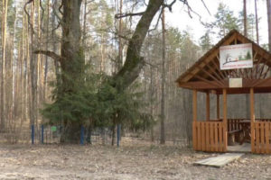кирьянов дуб злынковский район старое дерево вековой дут 500 лет