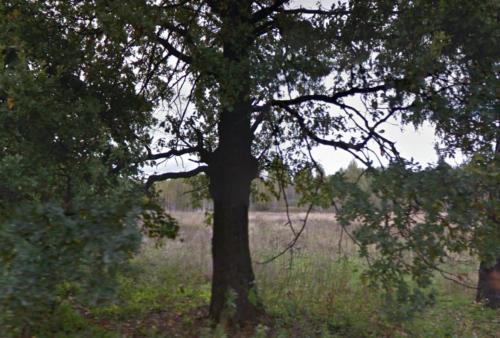 Старадубскицй раййон вековой дуб