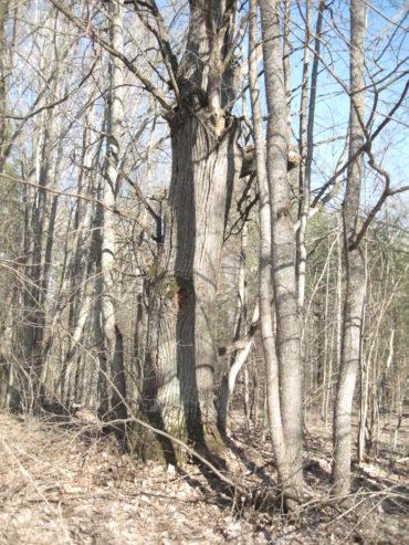 Клинцы вековой дуб