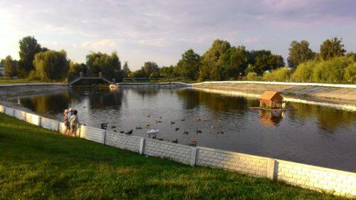 Лебеди на озере Новозыбков