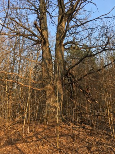 старые дубы Клинцы