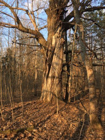 Вековые деревья Клинцовский район