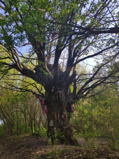 Многовековой дуб. Меловое. Погарский Район. Старинный дуб