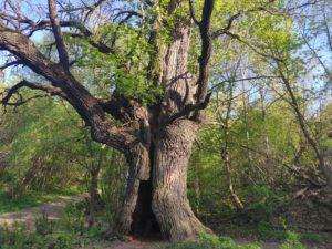 Фото векового дуба. Очень старый дуб. Брянская Область