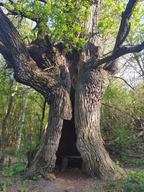 дуб в котором можно посидеь внутри. Древний дуб