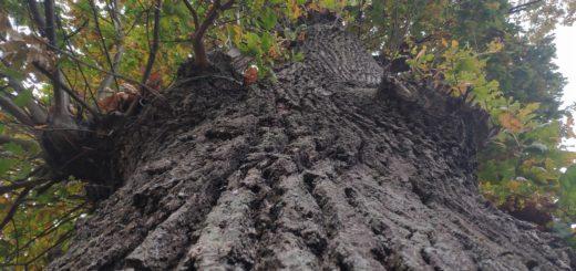 Клинцы старое дерево