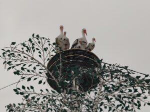 Гнездо аисты Лопатни памятник